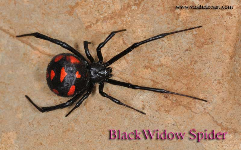 Black Widow Spider | A Deadly Nightmare For Everyone | Be Careful